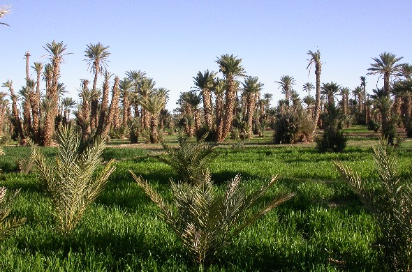 Palm grove of Ksar El Khorbat near Tinghir, South Morocco.