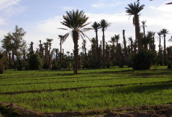 Palm grove of El Khorbat, Tinejdad, South Morocco.
