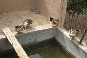 Ducks in El Khorbat