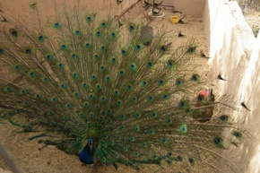 Peacock in El Khorbat